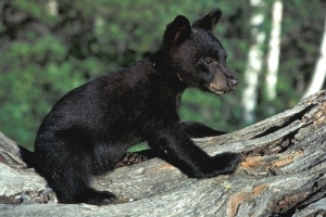 Black Bears Are Coming to Ohio!