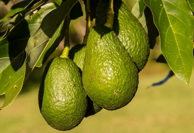 Plant An Avocado Tree!